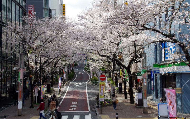 桜丘の桜並木